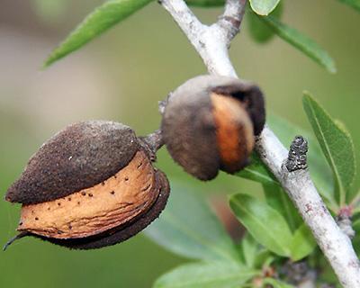 Mature almond fruit